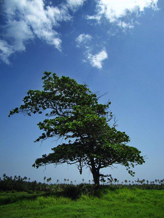 Happiest Tree - Cibuco, PR, 2010