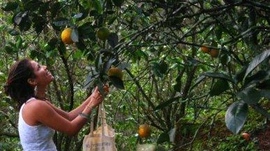 """""""Mofongo's"""" Orange Picking - Adjuntas, PR, 2008"""